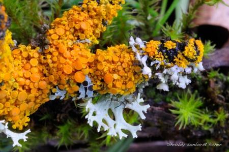 lichen-Shrubby sunburst lichen