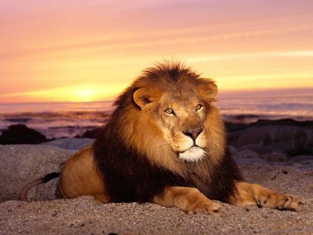 lion_resting_1600x1200